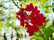 Röda orkidér, abstrakt naturbakgrund Arkivfoton