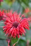 Röda ovanliga blommor i trädgården Arkivbilder
