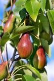 Röda päron på träd Fotografering för Bildbyråer