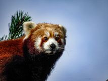 Röda Panda Ailurus fulgens, också som är bekanta som Lesser Panda, röda Bea Arkivbild