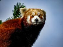 Röda Panda Ailurus fulgens, också som är bekanta som Lesser Panda, röda Bea Arkivfoton