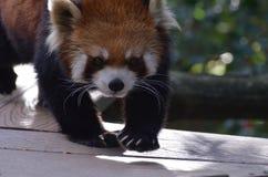 Röda Panda Bear Walking en planka Arkivfoton
