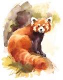 Röda Panda Watercolor Animal Illustration Hand målade Royaltyfri Bild