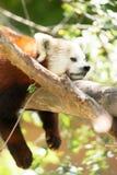Röda Panda Wild Animal Resting på trädlemmen Royaltyfri Fotografi