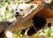 Röda Panda Wild Animal Resting på trädlemmen Royaltyfria Bilder