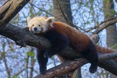 Röda pandor Fotografering för Bildbyråer