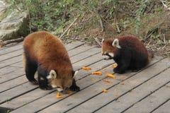 Röda pandor Royaltyfri Bild