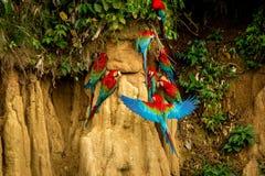 Röda papegojor på lera slickar att äta röd och grön aran den mineraler, i den tropiska skogen, Brasilien, djurlivplats från den t royaltyfria foton