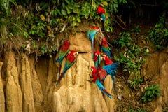 Röda papegojor på lera slickar att äta röd och grön aran den mineraler, i den tropiska skogen, Brasilien, djurlivplats från den t royaltyfria bilder