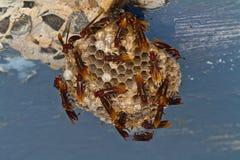 Röda paper wasps som bygger redet. Royaltyfri Fotografi