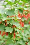 Röda Parichko Royaltyfria Foton