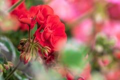 Röda pelargon i en färgrik blomsterrabatt royaltyfria foton