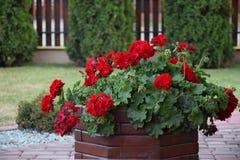 Röda pelargon i en trädgårds- kruka Royaltyfri Fotografi