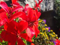 Röda pelargonblommor i sommar royaltyfria bilder