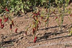 Röda peppar Royaltyfria Bilder