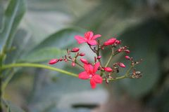 Röda Peregrina, kryddig Jatropha arkivfoton