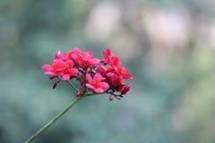 Röda Peregrina, kryddig jatropha i sommar arkivfoton