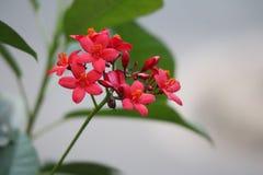 Röda Peregrina, kryddig jatropha i sommar royaltyfri bild