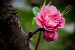 Röda persikablomningar i mars royaltyfria bilder