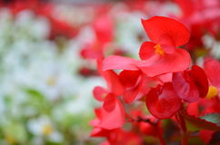 röda petals Arkivfoto