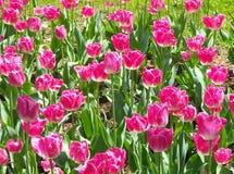Röda Pinklish tulpanblommor som alla mödrar ska älska royaltyfri foto