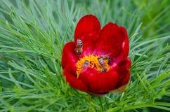 Röda pioner blommar i stäppreserv på Zau de Campie, det Mures länet, Transylvania, Rumänien arkivbilder