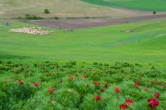 Röda pioner blommar i stäppreserv på Zau de Campie, det Mures länet, Transylvania, Rumänien arkivfoto