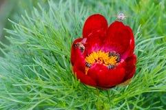 Röda pioner blommar i stäppreserv på Zau de Campie, det Mures länet, Transylvania, Rumänien royaltyfri bild