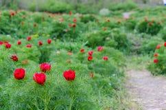 Röda pioner blommar i stäppreserv på Zau de Campie, det Mures länet, Transylvania, Rumänien royaltyfri fotografi
