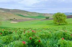 Röda pioner blommar i stäppreserv på Zau de Campie, det Mures länet, Transylvania, Rumänien arkivbild