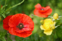 Röda Poppy Close Up Royaltyfria Foton