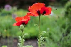 Röda Poppy Flower Garden Bee arkivbild