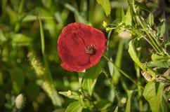Röda Poppy Flower Lat Papaverrhoeas Arkivfoto
