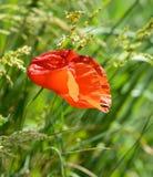Röda Poppy Flower Windy Day Insect Royaltyfria Bilder