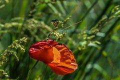 Röda Poppy Flower Windy Day Insect fotografering för bildbyråer