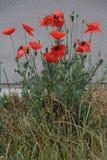 Röda Poppy Flowers längs en väg Royaltyfri Fotografi