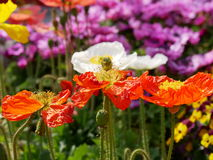 Röda Poppy Triplets Arkivbilder