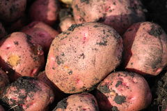 röda potatisar Arkivbilder