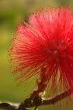 Röda Powderpuff Arkivfoto