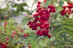 Röda rönnbär på träd Royaltyfri Fotografi