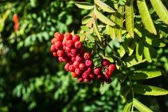 Röda rönnbärdruvor i grön filial arkivfoton