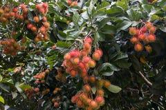 Röda rambutans på trädet i trädgården Arkivbilder