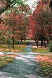 Röda revor av hösten royaltyfri bild