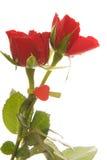 röda ro royaltyfria bilder