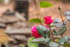 röda ro Royaltyfri Foto
