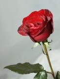 röda ro arkivfoto