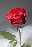 röda ro Arkivbild