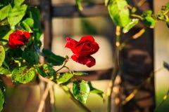 röda ro Fotografering för Bildbyråer