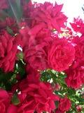 röda ro royaltyfri fotografi