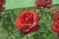 Röda ro i trädgården Arkivfoto